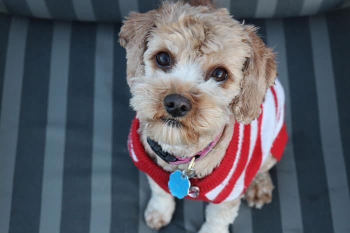 cavapoo puppy costume