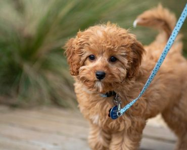 golden cavapoo puppy image