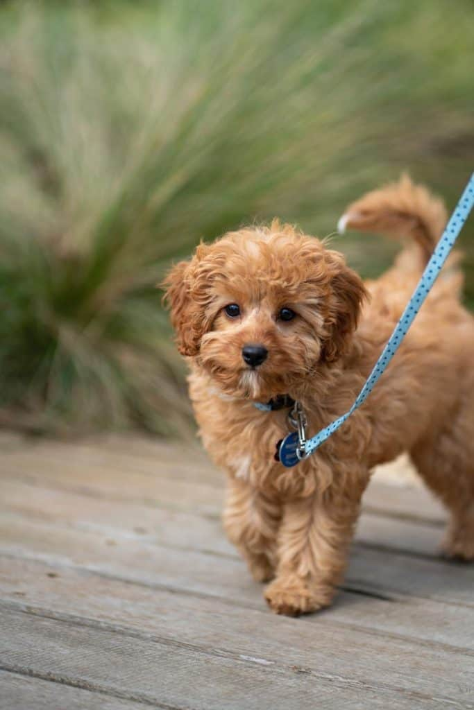 Cavapoo Vs Cockapoo Best Breed Comparison And 7 Differences