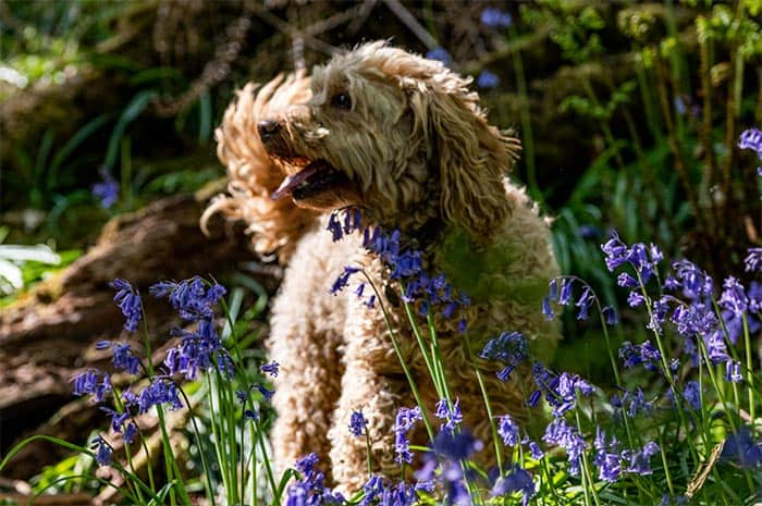 dog bluebell field cockapoo play