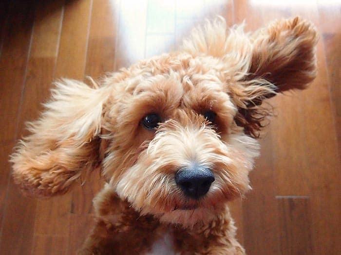 Wavy Cockapoo Puppy Ears