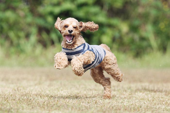 happy cockapoo puppy running