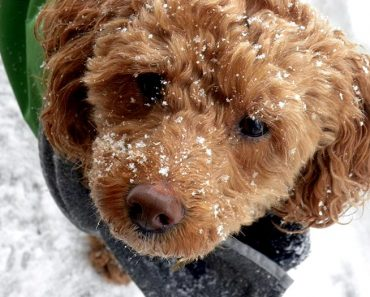 cockapoo puppy in the snow