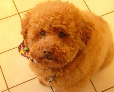 wavy fluffy cockerpoo puppy