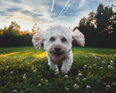 happy outdoor cockerpoo puppy