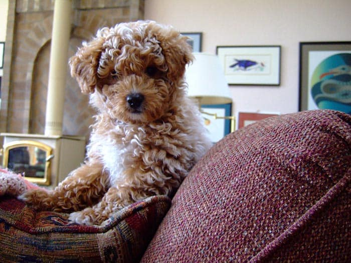 cute mini cockapoo puppy