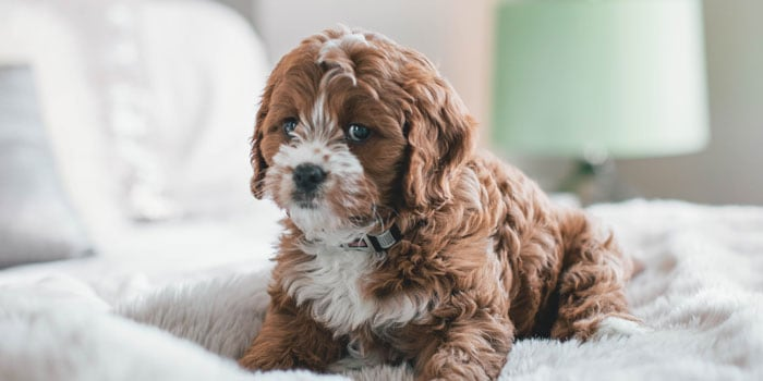 parti multi colour cavapoo