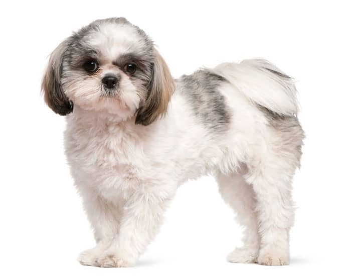 shih tzu puppy aged 8 months