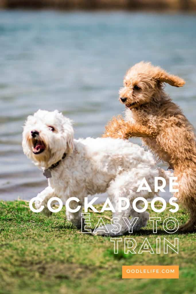 are cockapoos easy to train