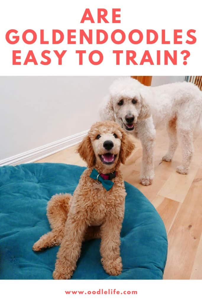 are goldendoodles easy to train