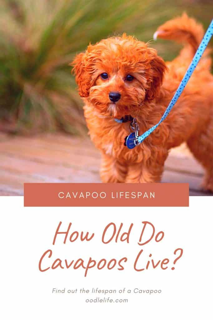 cavapoo lifespan how many years to cavapoo live