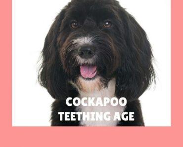 Correct Cockapoo Teething Age – How Long Do Cockapoo Puppies Teeth? 3