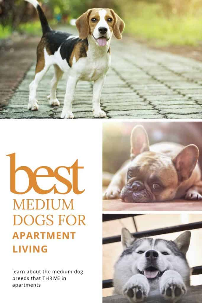 good medium sized dogs for apartments