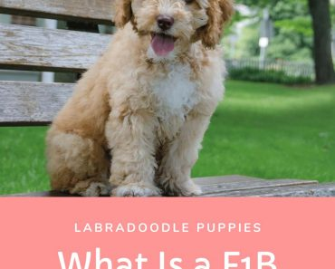 What Does F1B Labradoodle Mean? Complete Answer 16
