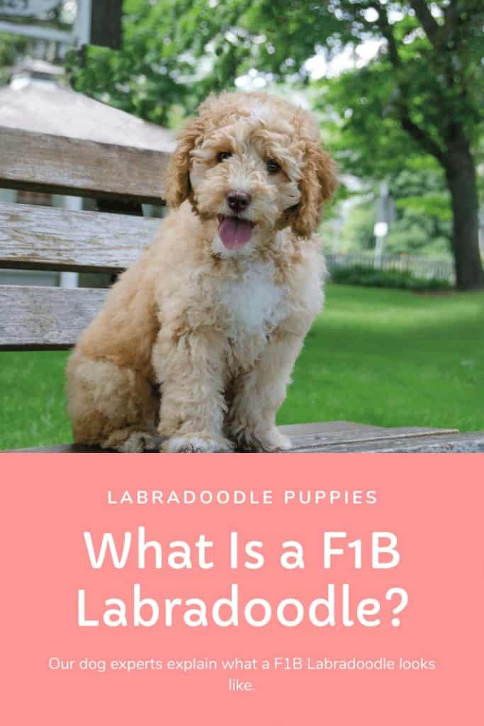 what is a f1b labradoodle