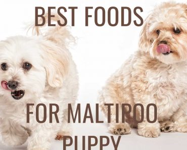 best food for maltipoo puppy