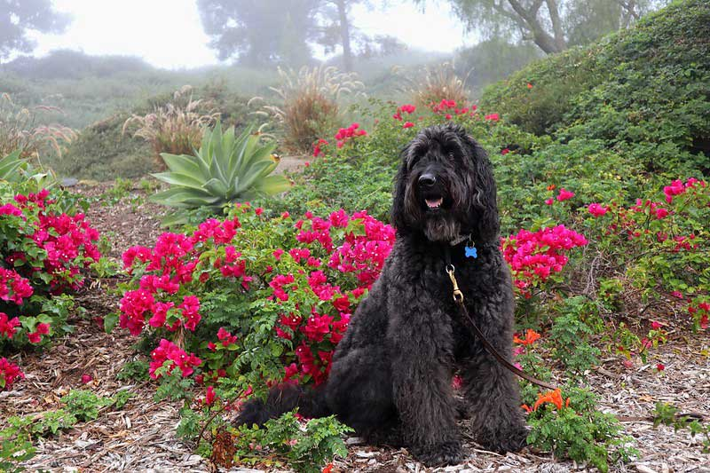 black goldendoodle sitting for a photo