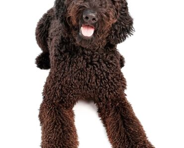 picture of a black Goldendoodle puppy