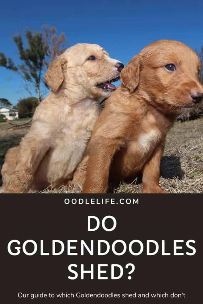 do goldendoodles shed