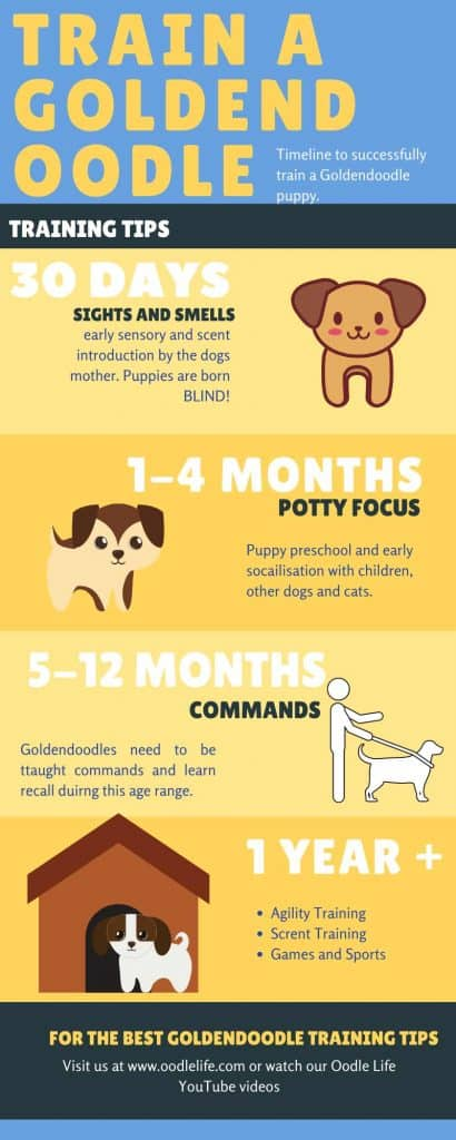 goldendoodle training timeline