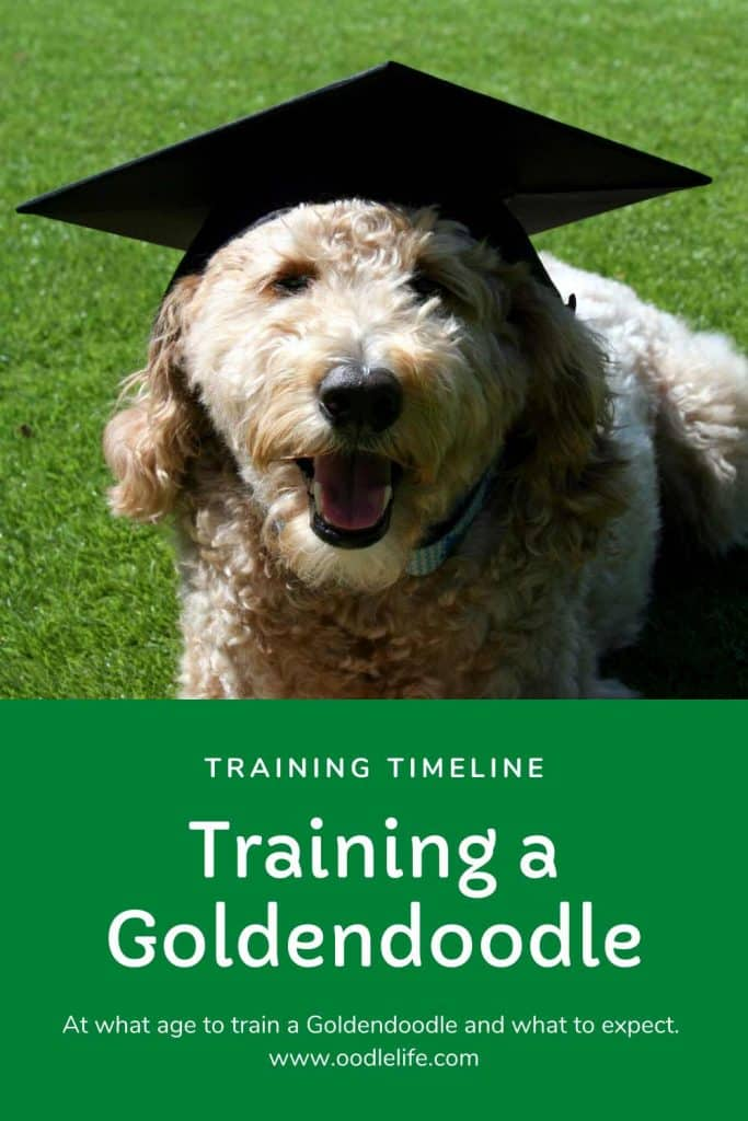 Goldendoodle Training Tips Complete Timeline For Training A Goldendoodle Oodle Dogs