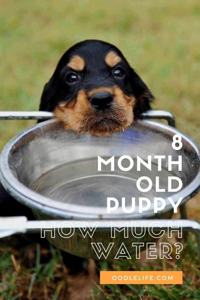 How Much Water Should A 8 Month Old Puppy Drink A Day