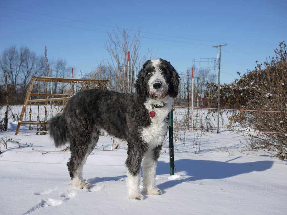 aussiedoodle dog in the snow