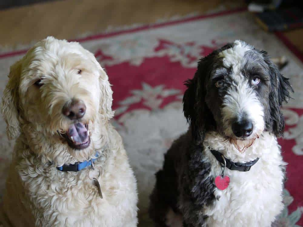 Can You Shave Down an Aussiedoodle? (And BEST Clippers for Aussiedoodle Hair) 1