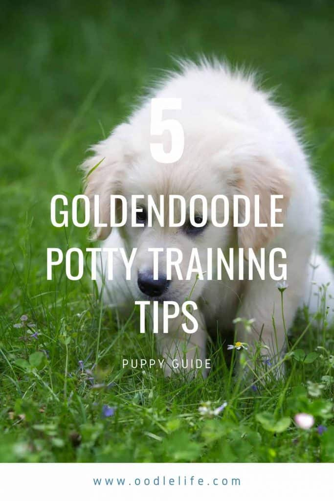 5 Goldendoodle Potty Training Tips Best Simple Steps To Potty Train Your Puppy Oodle Dogs