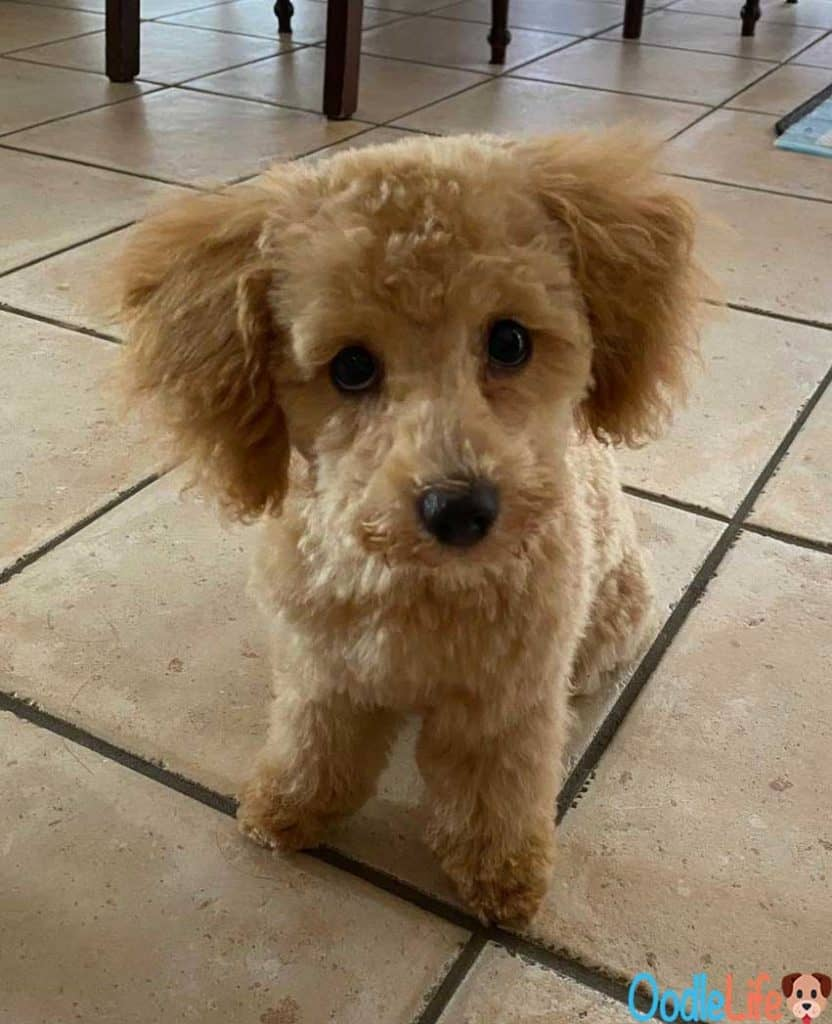 maltipoo puppy haircut