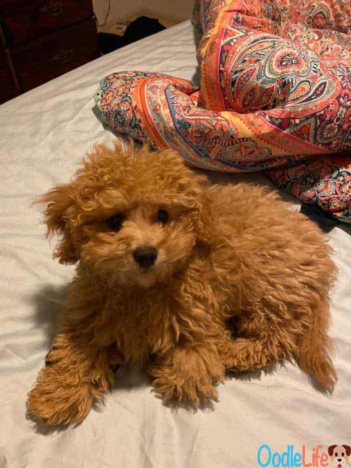 a maltipoo puppy