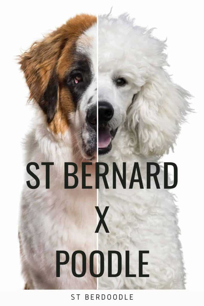 Saint Bernard poodle mix is called st Berdoodle