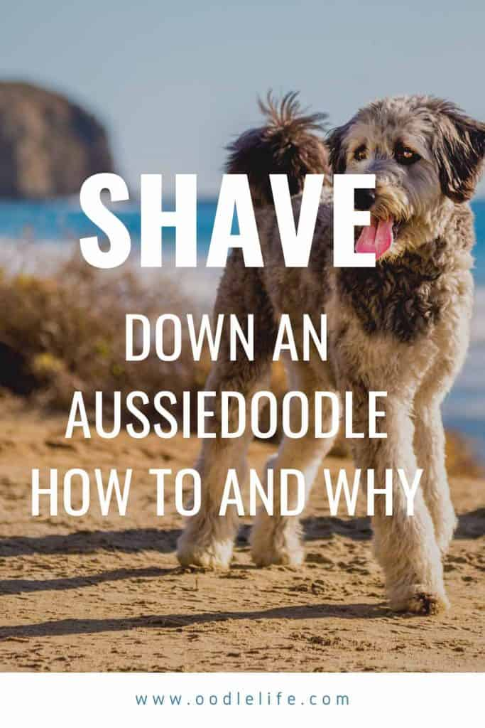 can you shave down an aussiedoodle