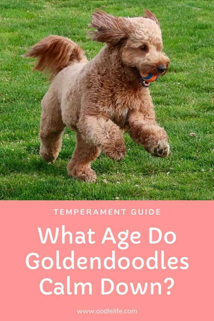 what age do goldendoodles calm down