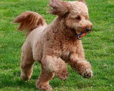 when do goldendoodles calm down