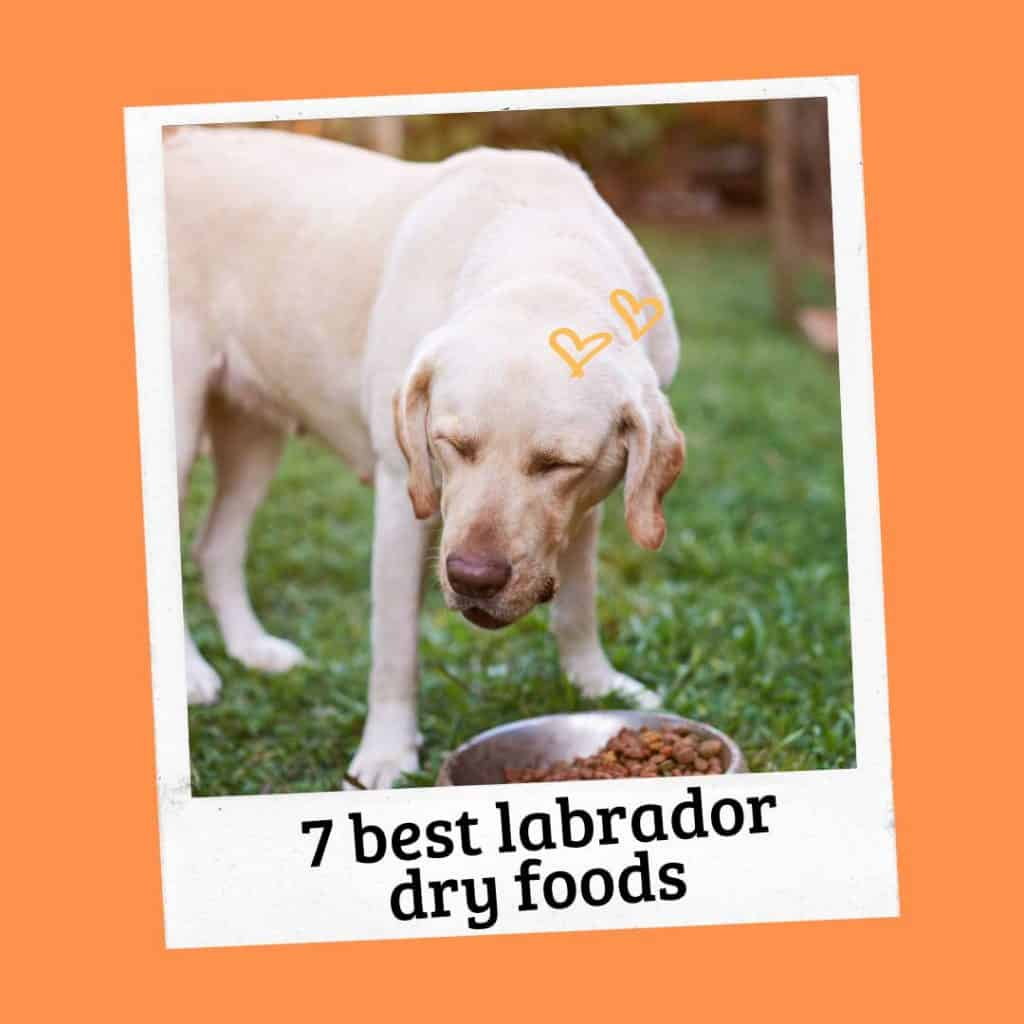 the best Labrador dry foods for adults