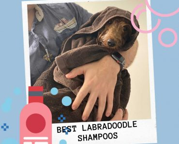 4 Best Shampoo for Labradoodles 5
