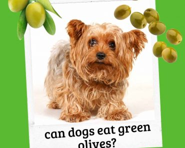 can dogs eat green olives