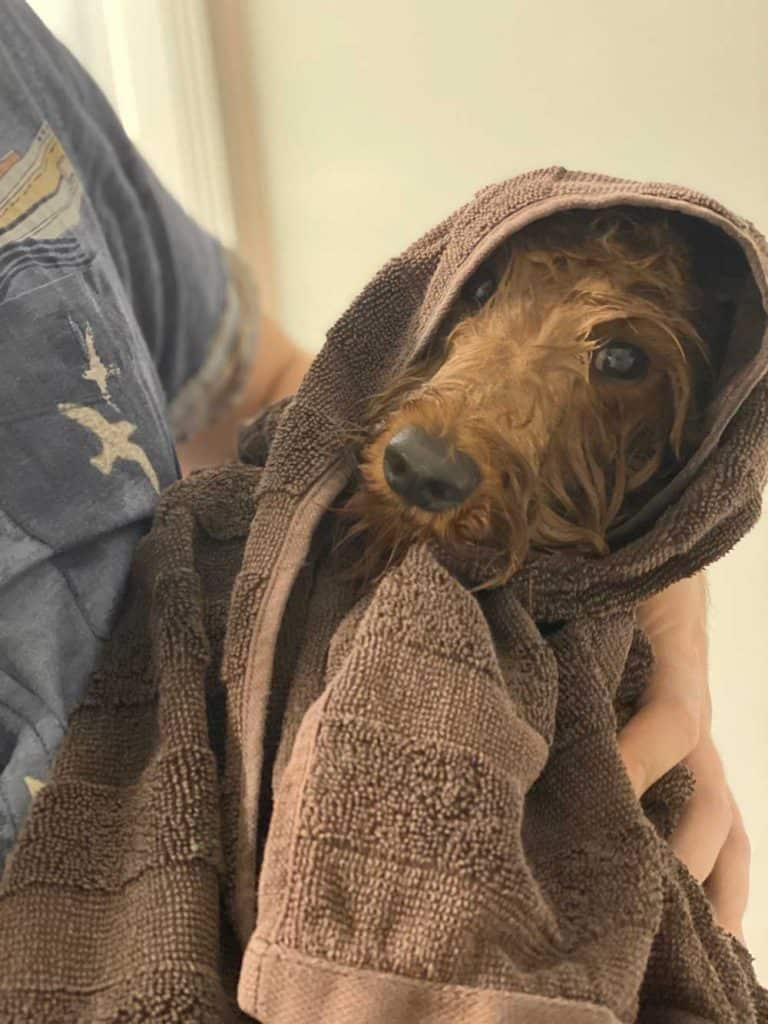 A miniature Labradoodle after showering