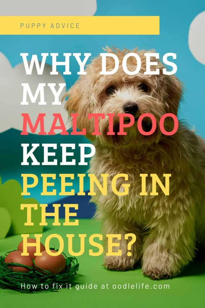 why does my maltipoo keep peeing inside the house