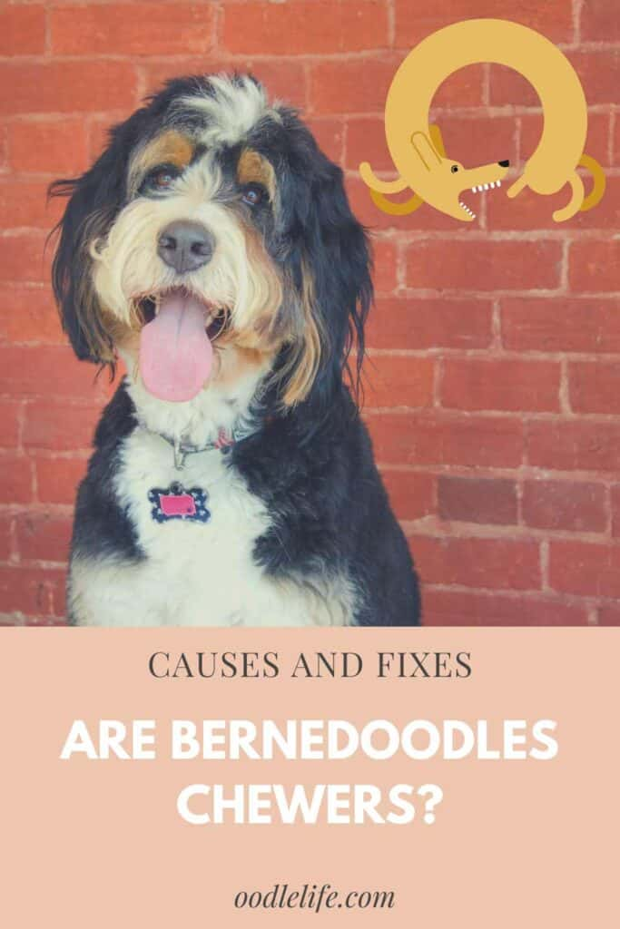 are bernedoodles chewers