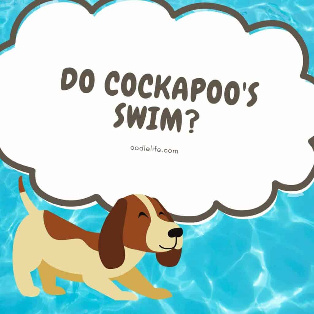 Do Cockapoos Swim? (Are Cockapoos Water Dogs?) 1