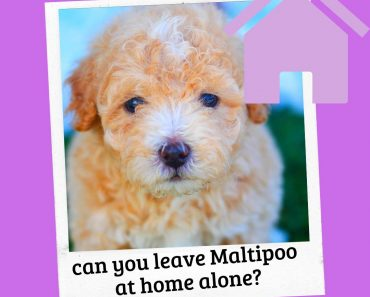 can you leave a maltipoo at home alone
