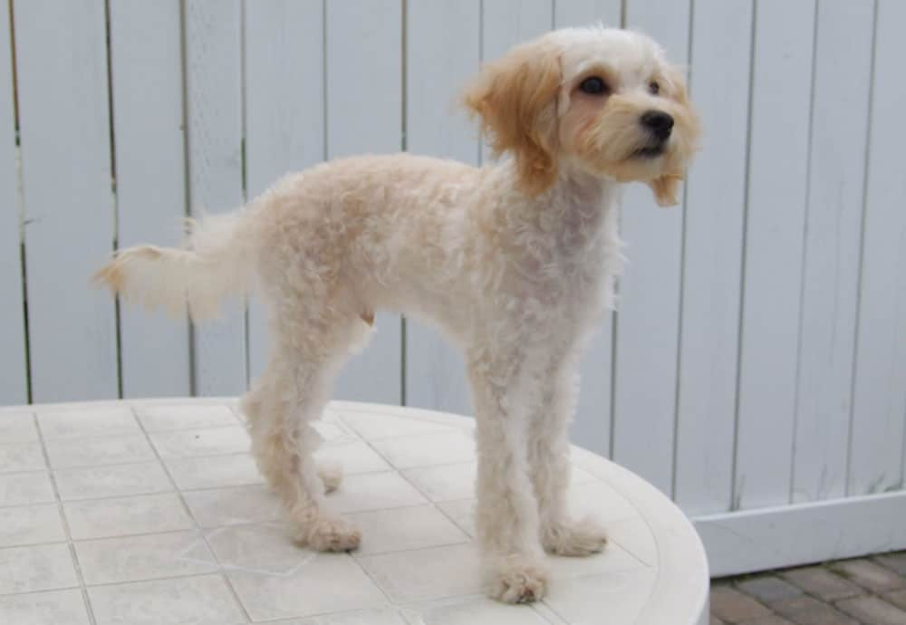 maltipoo after haircut style