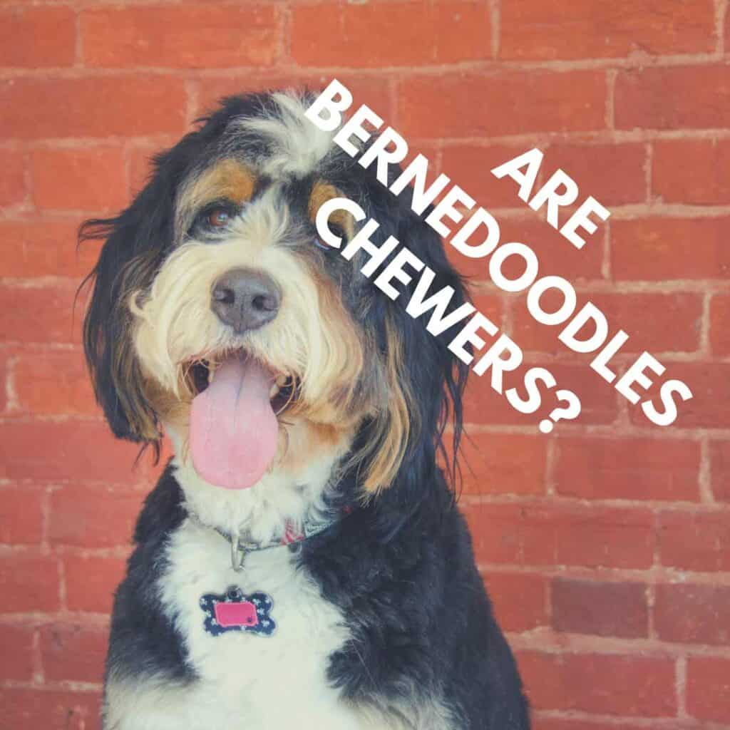 do bernedoodles chew