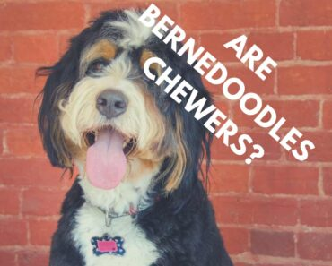 Are Bernedoodles Chewers? (Causes and Solutions) 1