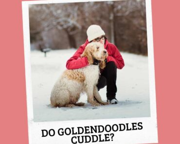 Do Goldendoodles Like to Cuddle? 4