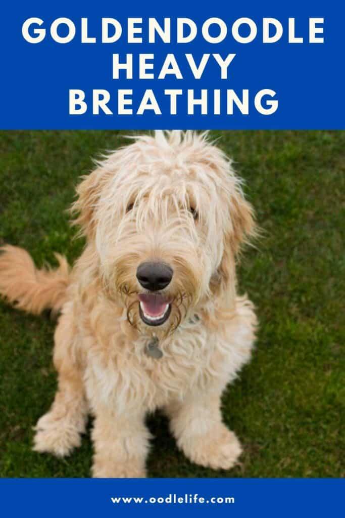 goldendoodle heavy breathing