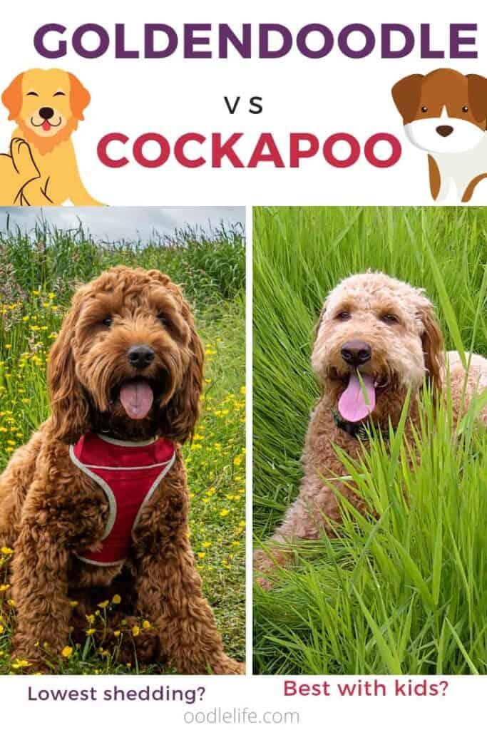 cockapoo vs goldendoodle