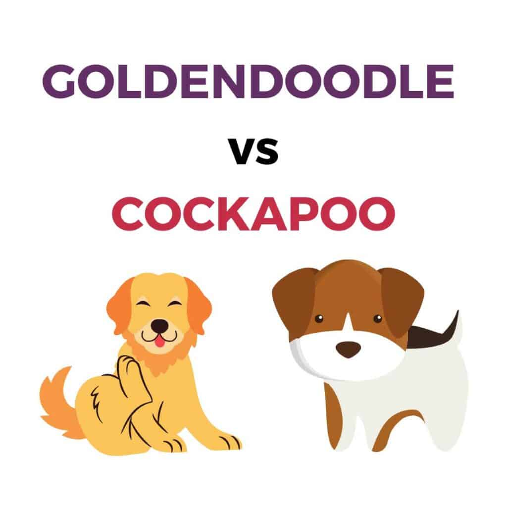 Goldendoodle vs cockapoo puppy